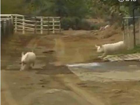 农场里的奶牛挤不出奶,罪魁祸首竟是猪,蹭奶场景让人哭笑不得