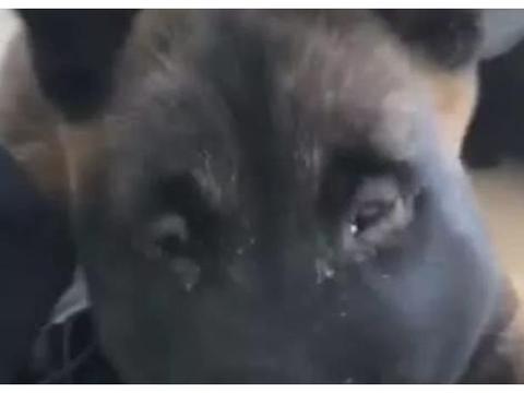 狗狗被蜘蛛咬后脸肿,小脸变包子脸,情绪低落让人不厚道笑喷