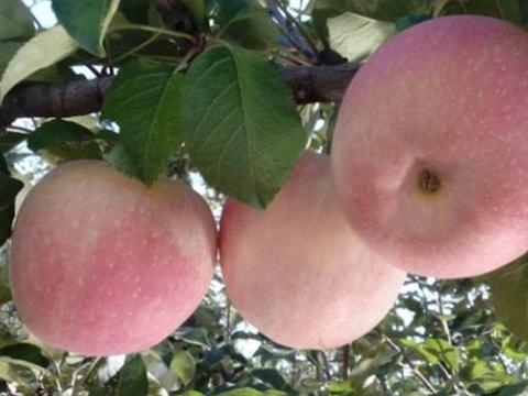 老农经验,苹果生长发育过程,遇到一些疾病应该处理