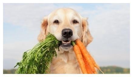 狗狗能不能只吃素食?喂养狗狗应遵循这几个原则