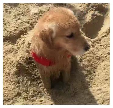 狗狗站在沙里看着自己被主人恶搞,看到表情主人笑喷