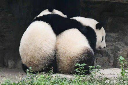 """北京动物园新成员:大熊猫双胞胎""""姐妹花""""来了!"""