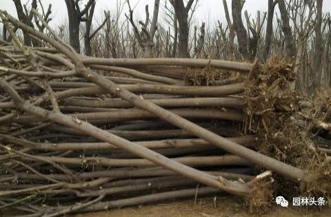 大树裸根移植法,快来学学!