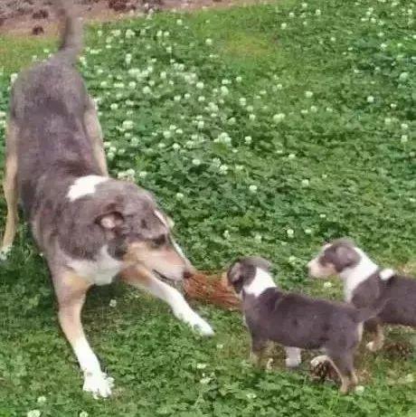 老人花十万美金克隆爱犬两次,养了三只一样的狗狗!