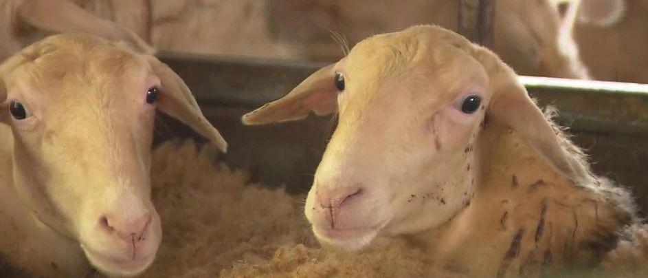 要当妈妈了!去年出生的冷冻胚胎湖羊宝宝12月将产子!