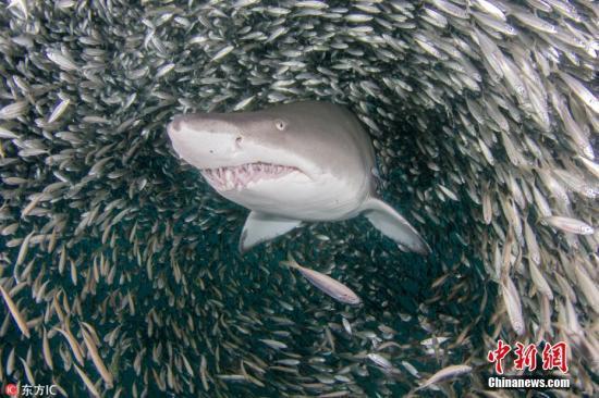 材料图:虎鲨。图片滥觞:西方IC 版权做品 请勿转载