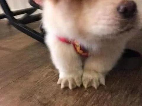 狗狗因为脚底毛太长走路打滑,主人把毛剃掉后:萌出了一脸血!