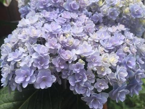 喜欢绣球花,就一定要养花手鞠,朵朵小花组成大花绣球,太美了!