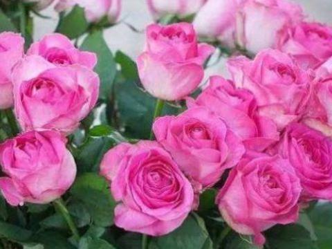 """""""稀有玫瑰""""糖果雪山,似糖果般甜蜜,清香袭人,堪称养花必备"""