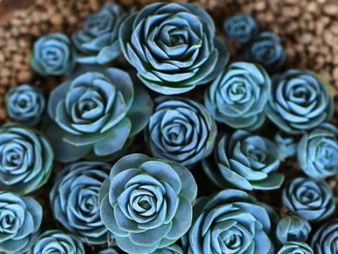 无刺玫瑰靠实力圈粉,多肉山地玫瑰雍容尔雅