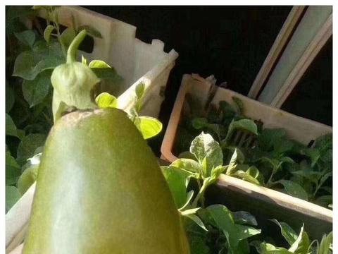 黄金紫香台农木瓜荔枝百香果种植技术家乐欢乐多长琦果苗