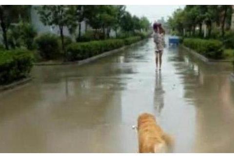 金毛下雨天去接主人,没想到突然把伞丢下往前跑去!