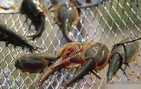 三眼恐龙虾,看起来可怕,但它却是2.2亿年就一直生活着