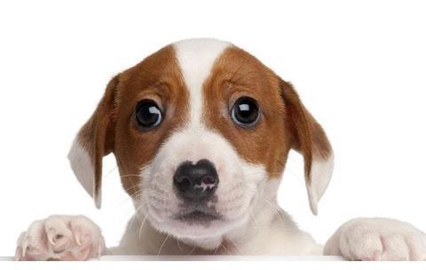 狗狗也会得红眼病?该怎么治