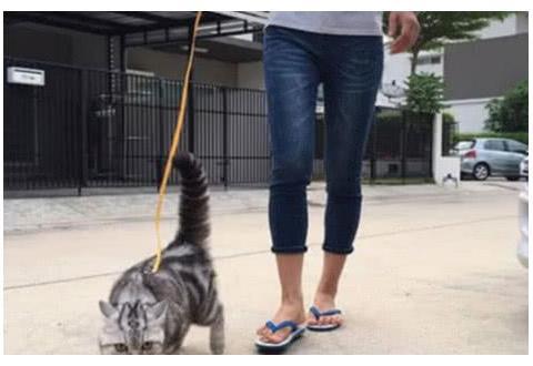 主人牵绳带着猫咪去散步,一看猫咪的走姿,行人纷纷选择避让