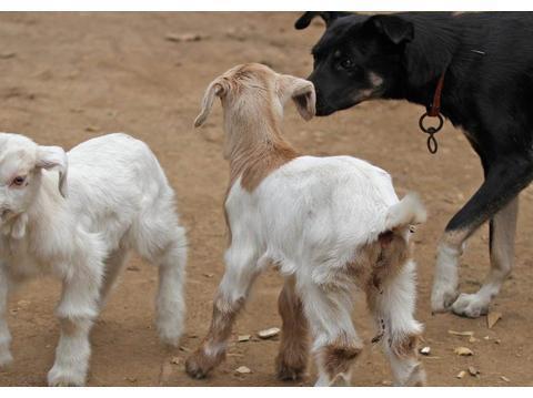 一窝小羊因主人贪吃失去母爱,被两只狗狗养大了,发生转基因了?