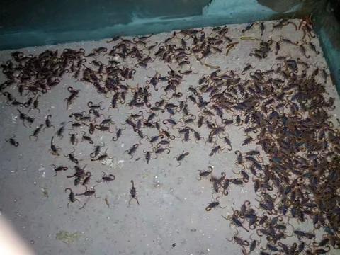 蝎子养殖技术交流,盐在蝎子养殖中的妙用