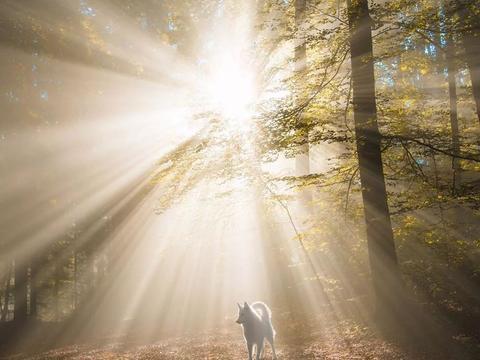 这只超美的白色瑞士牧羊犬,过上了全网最令人向往的生活……