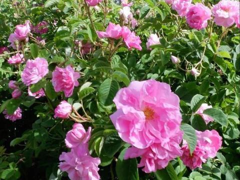 喜欢玫瑰,一定要养一盆大马士革玫瑰,花色绚丽缤纷,作用甚多