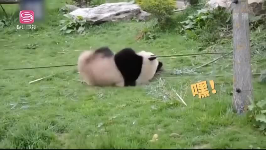 """""""功夫熊猫""""来了 一招一式有板有眼"""