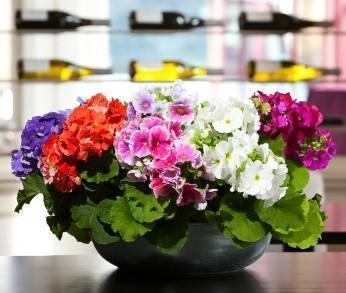 家居养花:可全年开花的盆花,不愁没花赏了