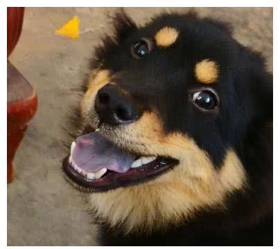土狗狗到新家,主动向主人示好,狗狗不想再次被丢弃