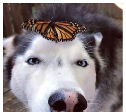 二哈被蝴蝶爬头上不敢乱动,变斗鸡眼一脸无助的望着妈妈:护驾
