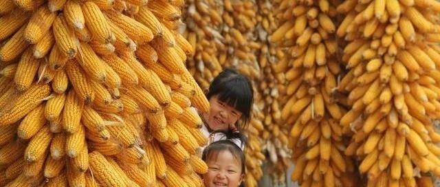 小麦玉米价格上涨路不同:短期内玉米价格再次下行的概率较高