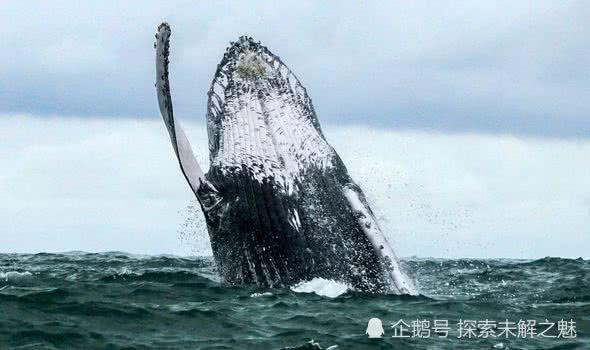 """绝活!人们发现座头鲸""""吹泡泡""""来诱捕鱼类,怎么做到的?"""