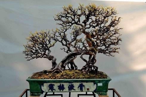 七贤盆景之一,雀梅盆景养护不难,施肥正确,自然不黄叶!