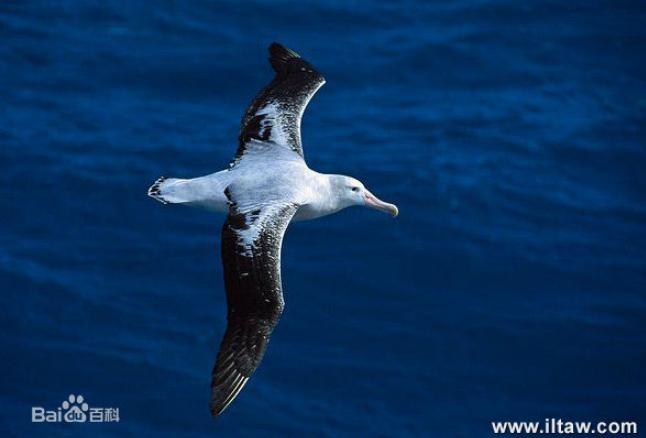大难不死的大型海鸟——漂泊信天翁