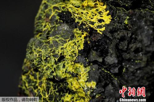 10月16日,在法国巴黎动物园举行的新闻发布会上,展示了一种名为神秘新生物——外表像真菌、行为像动物的黄色单细胞有机体。