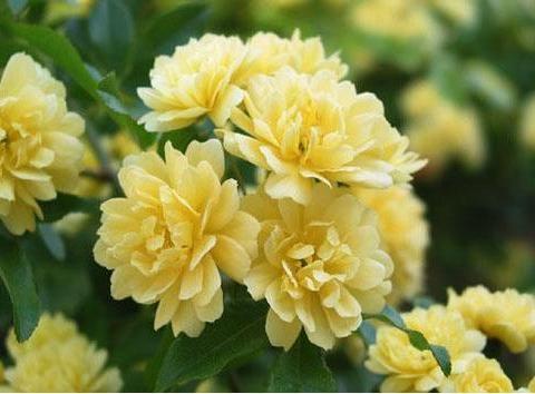 此款植物四季开花,随便一养轻松爆盆,花朵娇小玲珑,繁花似锦