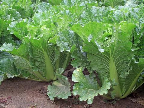 大白菜根肿病与根结线虫病的区别与防治