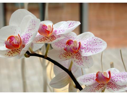 兰花叶片经常干枯是什么原因