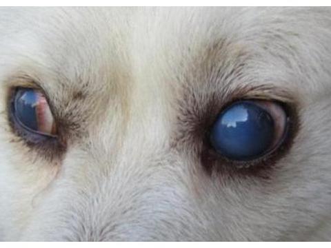 幼犬也会得白内障?做手术也不一定有用,可能反倒让狗狗失明