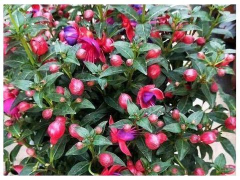 室内养绿萝、吊兰,不如栽上一盆吊钟海棠,1年开花200多天