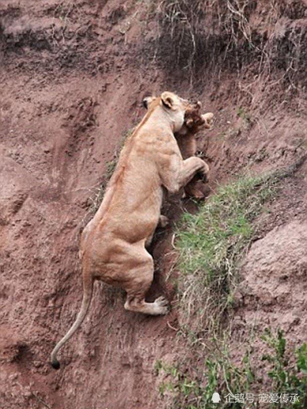 狮子告诉你,母爱有多伟大!母狮悬崖救子,上演惊现一幕