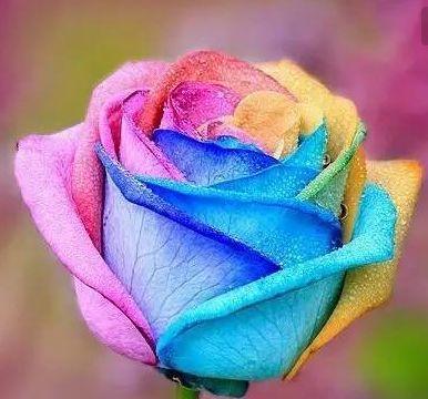 秋天就养彩虹玫瑰,像被染料染过,花瓣是彩虹色,散发出香甜味