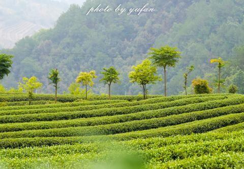 云南临沧高山之上,有片台湾人建的乌龙茶园