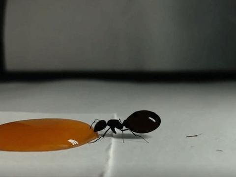 男子在桌上撒了一滴蜂蜜,引来贪吃小家伙,网友: 用生命去享受