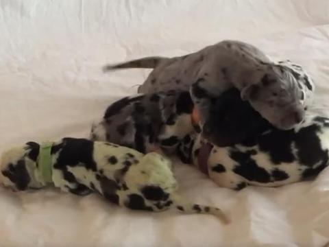 绿色的小狗见过吗?美国有家人的大丹犬生下了只绿色斑点小狗
