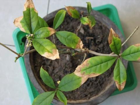 家里养盆栽桂花,最吉利!避开4个坑,不干尖不黄叶,四季飘香