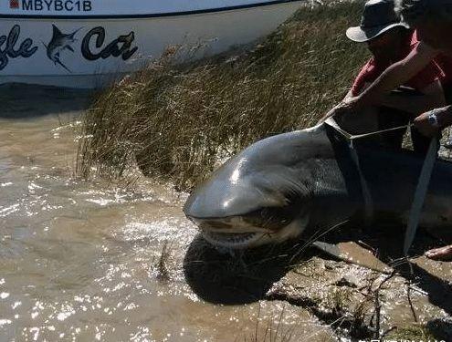 """世界唯一在淡水生活的鲨鱼, 危险程度仅次于大白鲨, """"海中之狼"""""""