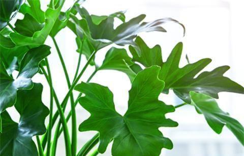 1种超耐阴的绿植,没光照也能爆盆,叶子青翠油绿