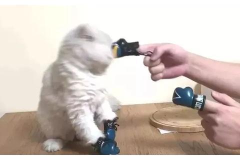 猫咪和主人比试拳击,被主人戏虐正生气,这时奶牛猫路过……