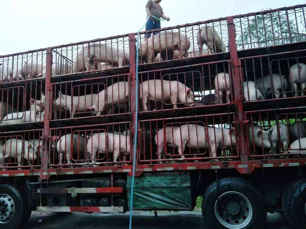 猪肉价格还在涨,整猪售价已回落?养殖户:现在开始养猪,划算吗