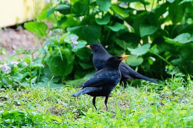 为什么有的鸟类每年更换2次羽毛,难道深色的羽毛可以飞更高?