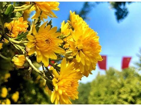 秋风起,天渐凉!等你来大观楼赏菊!