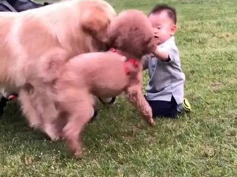 金毛舔了下宝宝的手,泰迪上去就是一顿乱咬,主人得知原因后笑了
